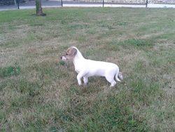 Inna, chien Parson Russell Terrier