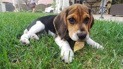 Inna, chien Beagle