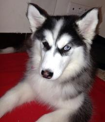 Inna, chien Husky sibérien