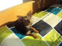 Inna -Babou, chien Yorkshire Terrier