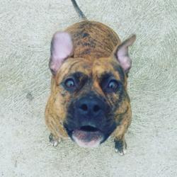 Innaya, chien American Staffordshire Terrier