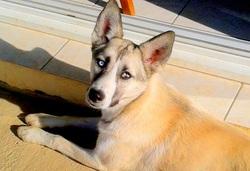 Ino, chien Husky sibérien