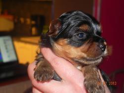 Inoa, chien Yorkshire Terrier