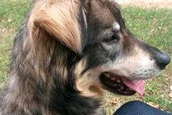 Inoa, chien Bouvier bernois