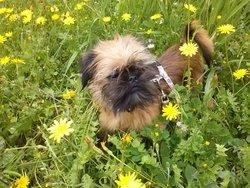 Inoa, chien Griffon bruxellois