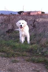 Inook, chien Golden Retriever