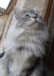 Inook, chat Maine Coon