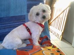 Inook, chien Bichon maltais