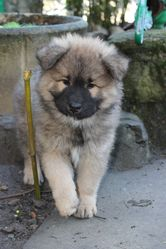 Inook, chien