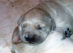 Inooka, chien Golden Retriever