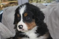 Inouchka, chien Bouvier bernois