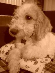 Inouck, chien Petit Basset Griffon vendéen