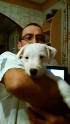 Inouk, chien Jack Russell Terrier