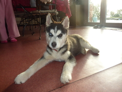 Inouk, chien Husky sibérien