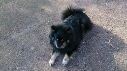 Inouk, chien Chien finnois de Laponie