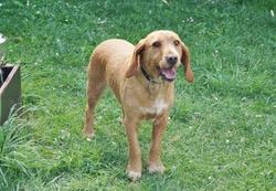 Inouk, chien Basset fauve de Bretagne