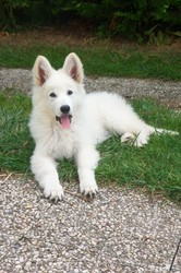 Inouka, chien Berger blanc suisse
