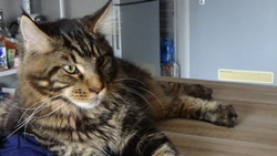 Inouka, chat Maine Coon