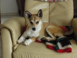 Inouke, chien Chien norvégien de Macareux