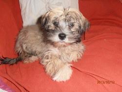 Inouke, chien Lhassa Apso