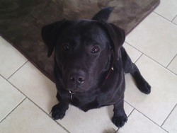 Inox, chien Labrador Retriever