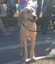 Inox, chien