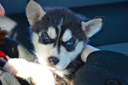 Inox, chien Husky sibérien