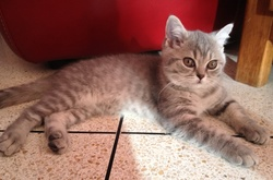 Inox, chat British Shorthair