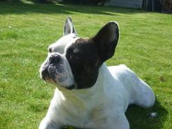 Inox, chien Bouledogue français