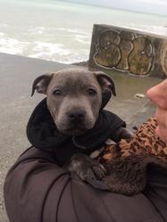 Inox, chien Staffordshire Bull Terrier