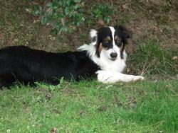 Insolence , chien Berger australien