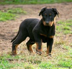 Insolente Des Bergers Du Vent, chien Beauceron