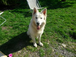 Intox, chien Berger blanc suisse