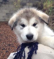 Inuk, chien Malamute de l'Alaska