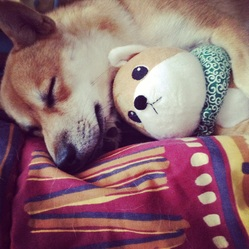 Inuki, chien Shiba Inu