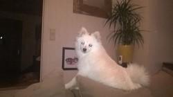 Inza, chien Spitz allemand