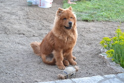 Inzo, chien Chow-Chow