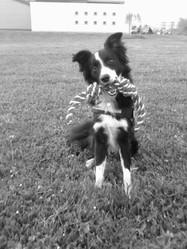 Inzo, chien Border Collie