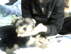 Inzo, chien Yorkshire Terrier