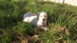 Inzo, chien Labrador Retriever