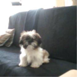 Inzo, chien