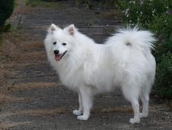 Iochi, chien Spitz japonais