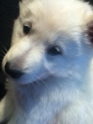 Ioco, chien Berger blanc suisse