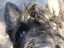 Ioda, chien Scottish Terrier