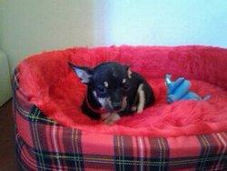 Ioda, chien Chihuahua