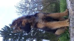 Ioda, chien Berger allemand