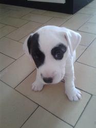 Ioda, chien Jack Russell Terrier