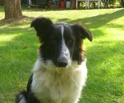 Ioda, chien Border Collie