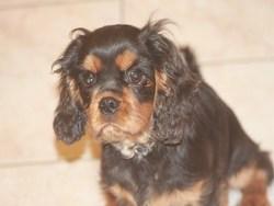 Ioda Du Mesnil Des Granges, chien Cavalier King Charles Spaniel