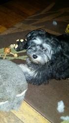 Iogghi, chien Petit chien lion